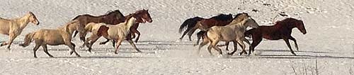 Herd of Horses Running in Winter
